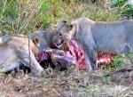Lion kill at Hluhluwe Game Reserve.