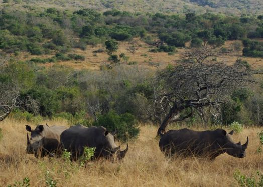 save rhinos like these